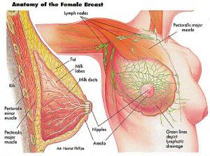 breast anatomy image